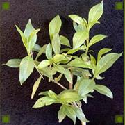 Henna_plant